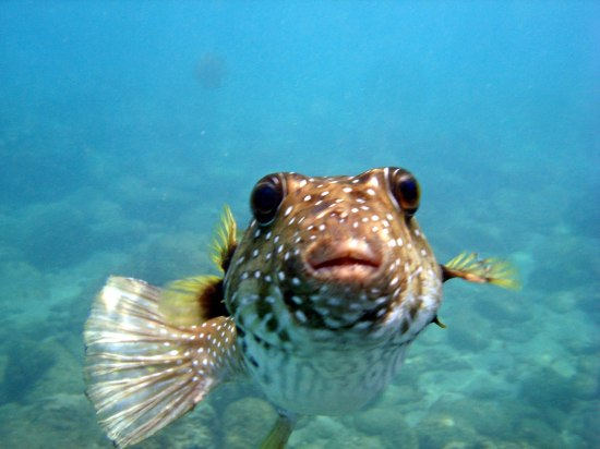 http://www.govisithawaii.com/2013/05/24/aloha-friday-photo-friendly-puffer-fish/
