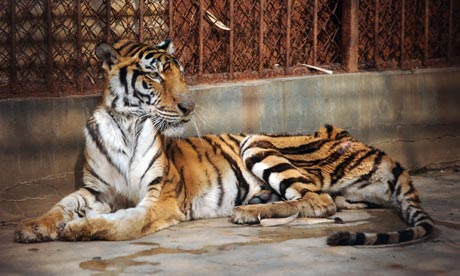 A-malnourished-tiger-in-a-002