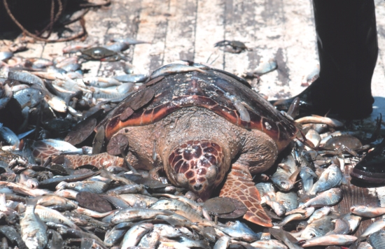 bycatch-turtle