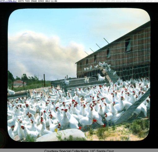 1900年代加州佩塔盧馬的雞場