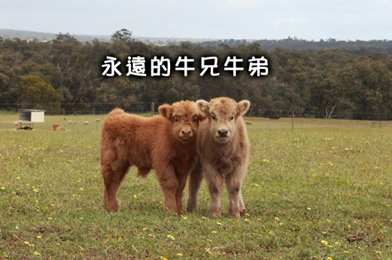 cow_4