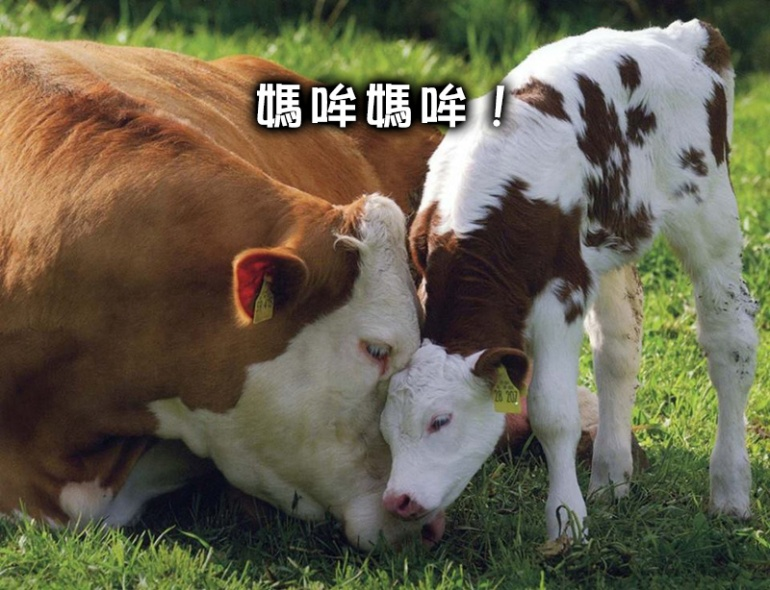 cow_6