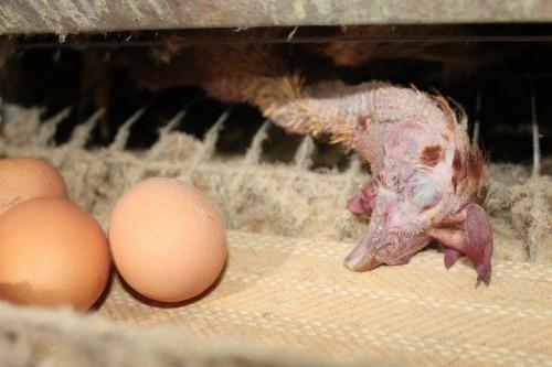被強制換羽至瀕死邊緣的雞 (Photo: On Nonhuman Slavery)