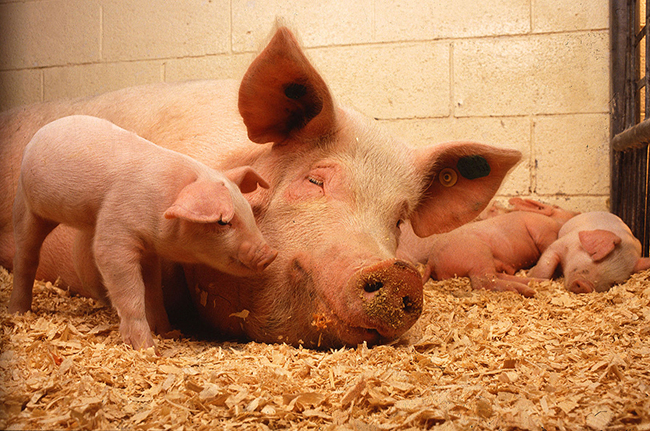 1280px-Sow_and_five_piglets