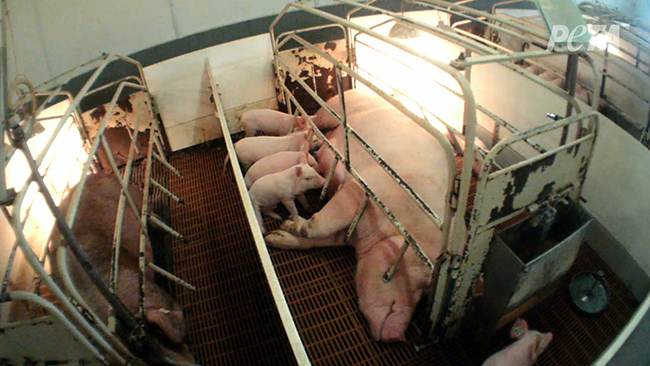 factory_farm_farrowing_crate