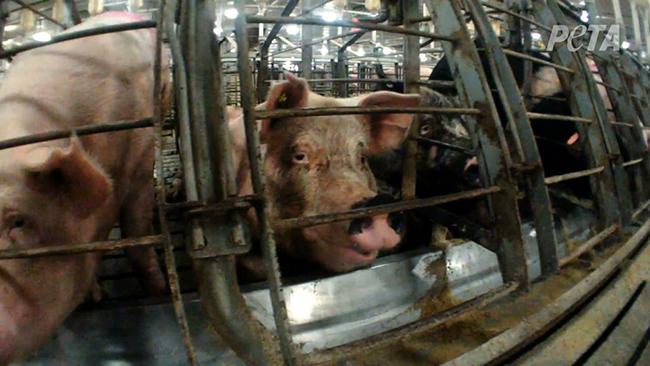 factory_farm_pig