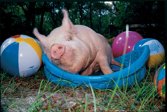 Phil the pig lying in a kiddie pool