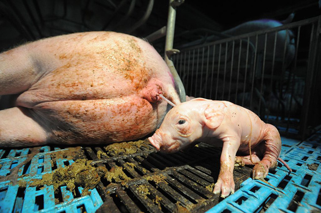 piglet_birth