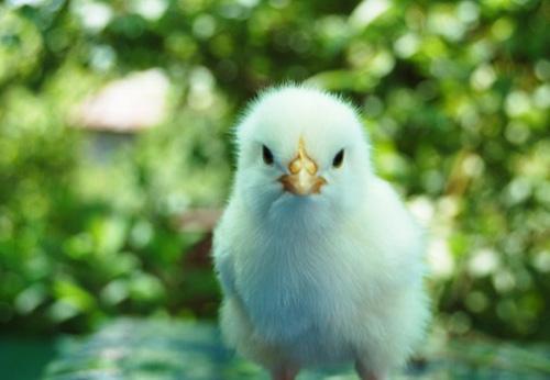 chick-e1423131787947