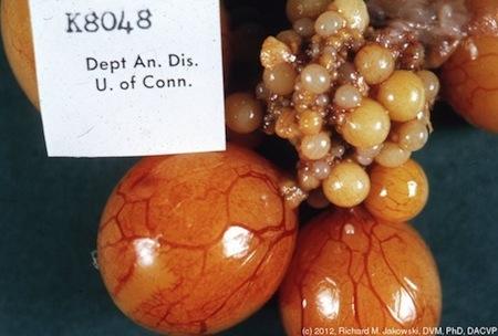一叢在母雞體內成長的卵子。最大的兩個蛋黃已發育完全,並會從卵巢排出,開始外殼成形的過程。照片: Tufts OpenCourseWare/ Creative Commons 3.0