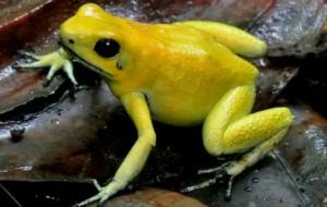 金色毒箭蛙 (圖片︰Wildlife Watch)